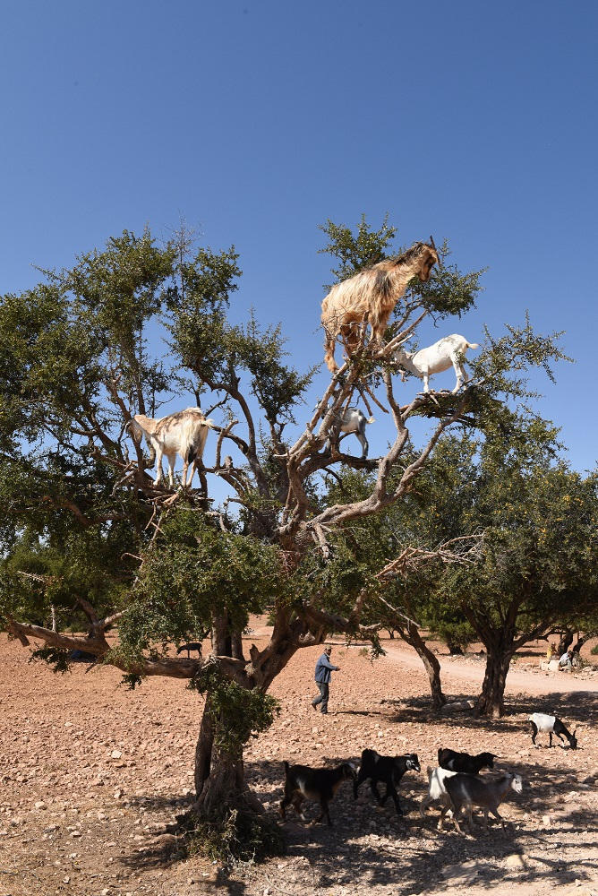 Argan trees www.visitmorocco.comMoroccan National Tourist Office. 1