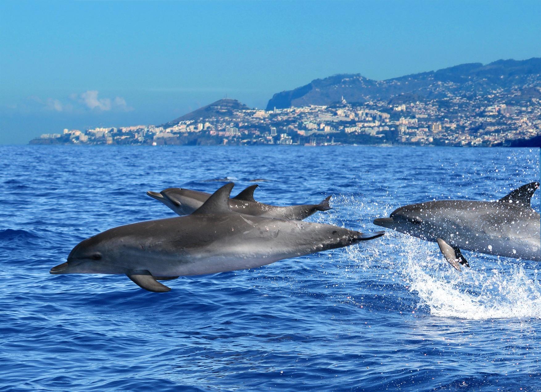 Dolphins Credit Madeira Promotion Bureau