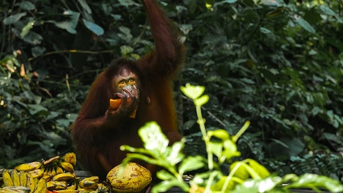 P1100164 Orangutan Credit Borneo Dream