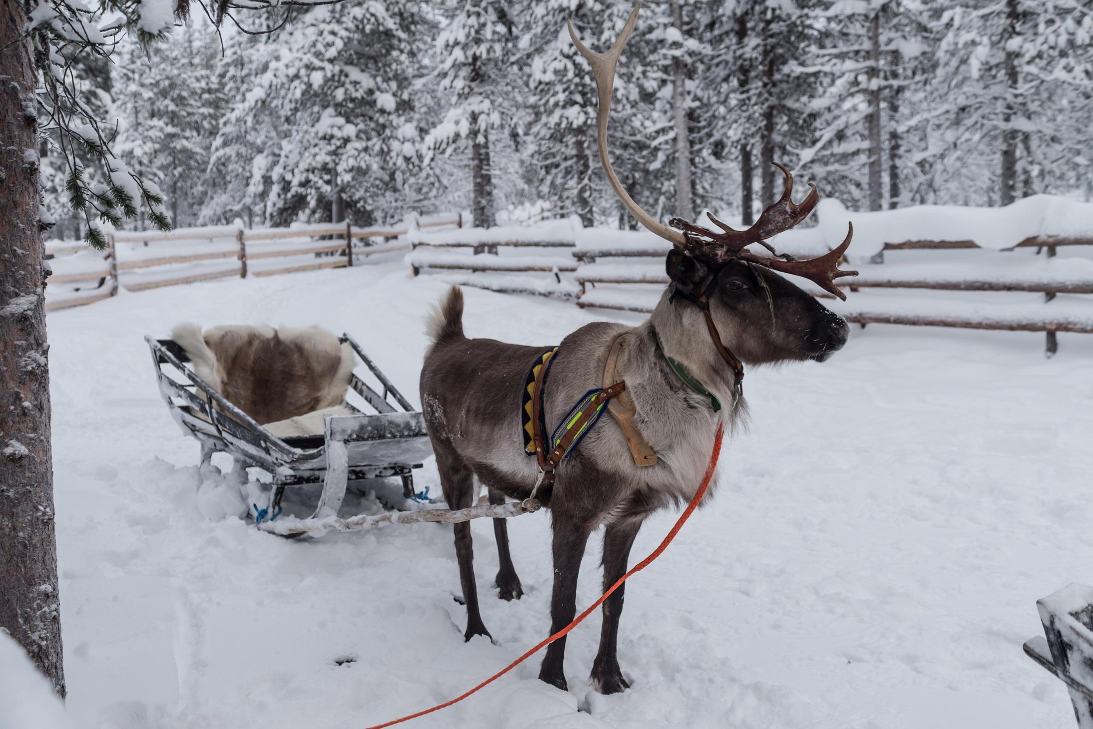 Reindeer Muotka NLV3 Credit Matt Robinson