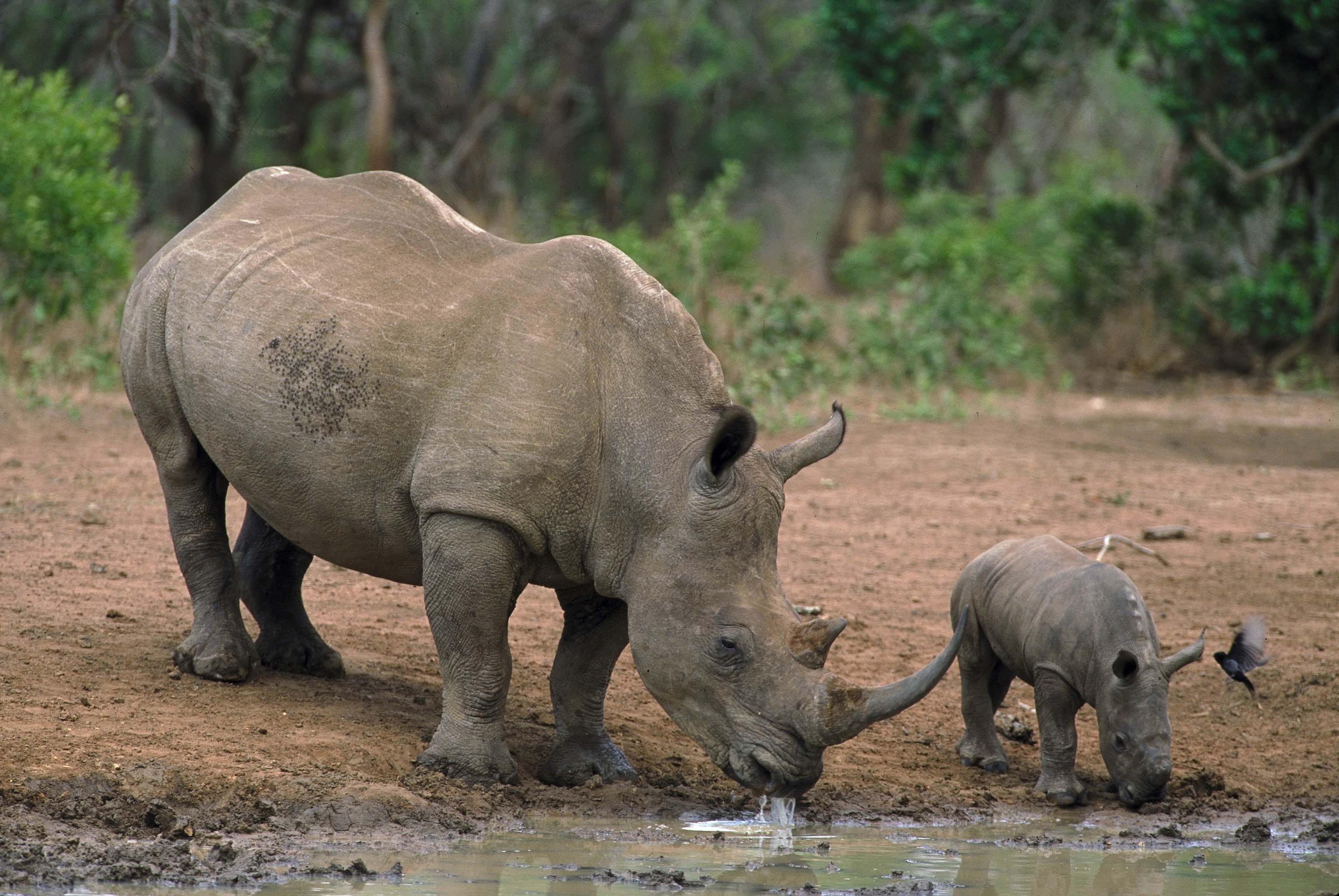 Rhinos Drinking South Africa credit South African Tourism