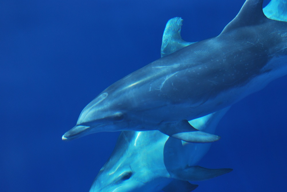 Swimming with dolphins 2 Credit Futurismo Azores Adventure 2