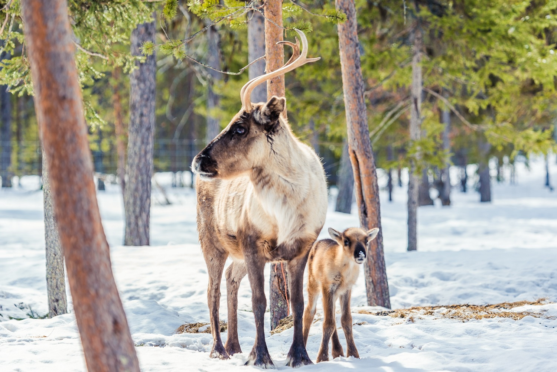 Torassieppi reindeer print 26 2